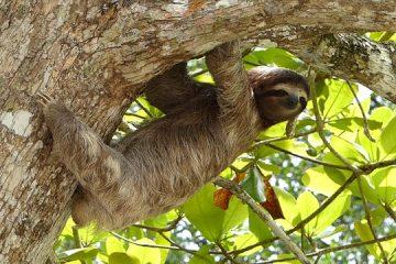 Sloth-costa-rica-calendar