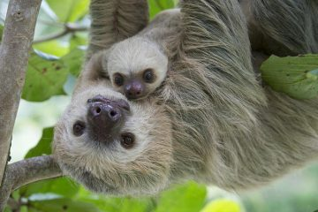 sloths-lovers-in-limon-523273