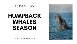 Humpback Whale jumping in Costa Rica Ocean