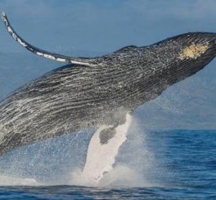Humpback Whale in the Golfo Dulce